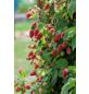 GARTENKRONE Loganbeere, Rubus loganobaccus  »Tayberry Medana« Blüten: creme, Früchte: rot, essbar-Thumbnail