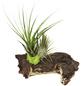 Luftnelke 2 Pflanzen auf Mopani-Wurzel Tillandsia-Thumbnail