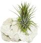 Luftnelke 2 Pflanzen auf Sanisbar-Rock Tillandsia-Thumbnail
