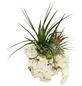 Luftnelke 2 Pflanzen auf Sansibar-Rock Tillandsia-Thumbnail