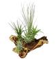 Luftnelke 5 Pflanzen auf Mopani-Wurzel Tillandsia-Thumbnail