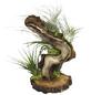 Luftnelke 5 Pflanzen auf Wurzelbaum Tillandsia-Thumbnail