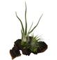 Luftnelke auf Mopani-Wurzel, Tillandsia, 2 Pflanzen-Thumbnail