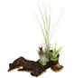 Luftnelke auf Mopani-Wurzel, Tillandsia tillandsia, 3 Pflanzen-Thumbnail