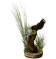 Luftnelke auf Wurzelbaum, Tillandsia, 3 Pflanzen-Thumbnail