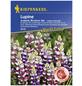 KIEPENKERL Lupine, Lupinus hartwegii, Samen, Blüte: mehrfarbig-Thumbnail