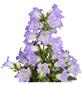 GARTENKRONE Makedonische Glockenblume, Campanula formanekiana »Mary Mee Blue«, Blüte: blau-Thumbnail