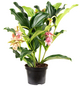 Medinilla, Medinilla magnifica, Blütenfarbe: rosa-Thumbnail
