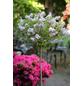 Meyers Flieder, Syringa meyeri »Palibin«, Blütenfarbe lila-Thumbnail