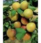 GARTENKRONE Mirabelle, Prunus domestica »Nancymirabelle CAC«, Früchte: süß, zum Verzehr geeignet-Thumbnail