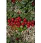 GARTENKRONE Moosbeere, Vaccinium macrocarpon, Früchte: rot, essbar-Thumbnail