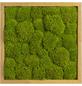 Moosbild Eichenrahmen Ballenmoos Apfelgrün , BxHxT: 35 x 35 x 6  cm-Thumbnail