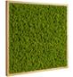 Moosbild Eichenrahmen Islandmoos Apfelgrün, BxHxT: 55 x 55 x 6  cm-Thumbnail