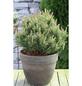 Mops-Kiefer mugo Pinus »Mops«-Thumbnail