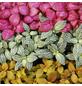 Mosaikpflanze 3er Set Fittonia-Thumbnail