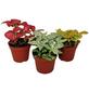 Mosaikpflanze 3er Set, Fittonia , Topf-Ø: 9cm-Thumbnail