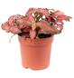 Mosaikpflanze Fittonia verschaffeltii »Forest«-Thumbnail