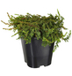 GARTENKRONE Nadelgehölz »Juniperus communis«-Thumbnail
