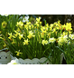 Narzisse, Narcissus cyclamineus »Tete a Tete«, Höhe bis 20 cm-Thumbnail