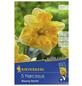 KIEPENKERL Narzisse x Hybrida Narcissus-Thumbnail