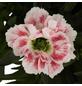 GARTENKRONE Nelke Dianthus caryophyllus 'SuperTrouper®'-Thumbnail