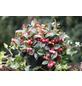 Niedere Scheinbeere Gaultheria procumbens-Thumbnail