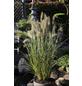 Niedriges Lampenputzergras, Pennisetum alopecuroides »Hameln«, aktuelle Pflanzenhöhe: 30-40 cm, grün-Thumbnail