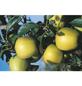 GARTENKRONE Obstbaum »Apfel«, Creme-Thumbnail