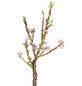 GARTENKRONE Obstbaum »Zwergnektarine«, Creme-Thumbnail