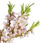 GARTENKRONE Obstbaum »Zwergpfirsich«, Creme-Thumbnail