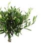 Olivenbaum Europaea Olea-Thumbnail