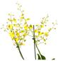 GARTENKRONE Oncidie Oncidium hybrid-Thumbnail