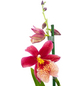 Orchidee, Cambria Nelly Isler, Blüte: rot, mit 2 Trieben-Thumbnail