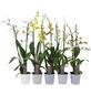 Orchideen Botanik Mix, Orchideen in Sorten, Blüte: orange-Thumbnail