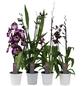 Orchideen Botanik Mix, Orchideen in Sorten, Blüte: violett-Thumbnail