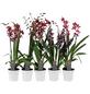 Orchideen Botanik Mix, Orchideen in Sorten »Botanik-Mix«, Blüte: rosa-Thumbnail