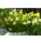 Osterglocke, Narcissus hybriden »Tete a Tete«, Blütenfarbe: gelb-Thumbnail