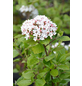 GARTENKRONE Osterschneeball, Viburnum burkwoodii »Anne Russel«, weiß, winterhart-Thumbnail