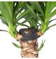Palmlilie Yucca elephantipes-Thumbnail