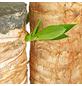 GARTENKRONE Palmlilie, Yucca elephantipes, im Kunststoff-Kulturtopf-Thumbnail