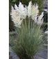 Pampasgras selloana Cortaderia »Tiny Pampa«-Thumbnail