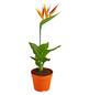 GARTENKRONE Paradiesvogelblume, Strelitzia reginae »Kunstblüte«, Blüte: orange-Thumbnail