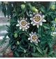 GARTENKRONE Passionsblume, Passiflora caerulea »Constance Elliiot«, Blüten: creme-Thumbnail