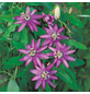 GARTENKRONE Passionsblume, Passiflora caerulea »Lavender Lady«, Blüten: violett-Thumbnail