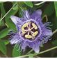 GARTENKRONE Passionsblume, Passiflora caerulea »Purple Haze«, Blüten: rosa/pink-Thumbnail