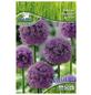 PEGASUS Pegasus Allium giganteum, Blau, 3 Stück-Thumbnail