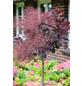 Perückenstrauch, Royal Purple coggygria »Cotinus«, Blütenfarbe rosa-Thumbnail