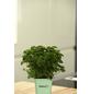 GREENBAR Petersilie 3er Set, Petroselinum Crispum, Blütenfarbe: weiß-Thumbnail