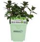 GREENBAR Pfefferminze 3er Set, Mentha spicata v. crispa, Blütenfarbe: helllila-Thumbnail