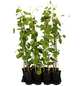 GARTENKRONE Pfeifenwinde Aristolochia macrophylla-Thumbnail